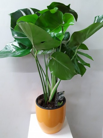 monstera in a pot