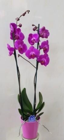 phalaenopsis in pot