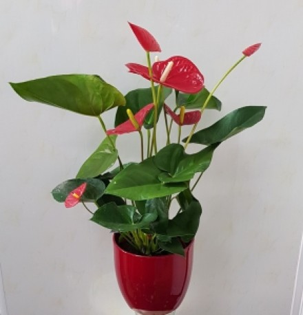 anthurium in red pot