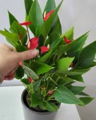 mini anthurium plant
