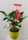 anthurium in green pot